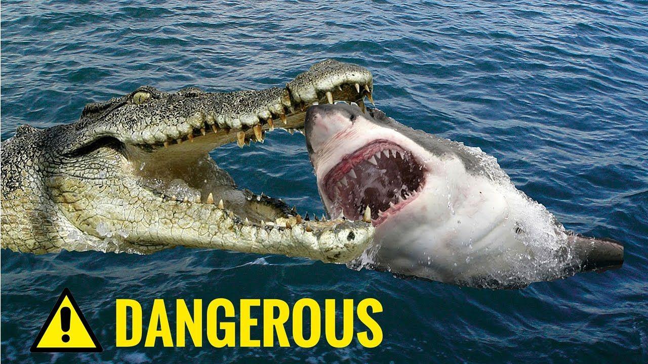 Shark vs Crocodile Fight Real   Shark vs Crocodile ...