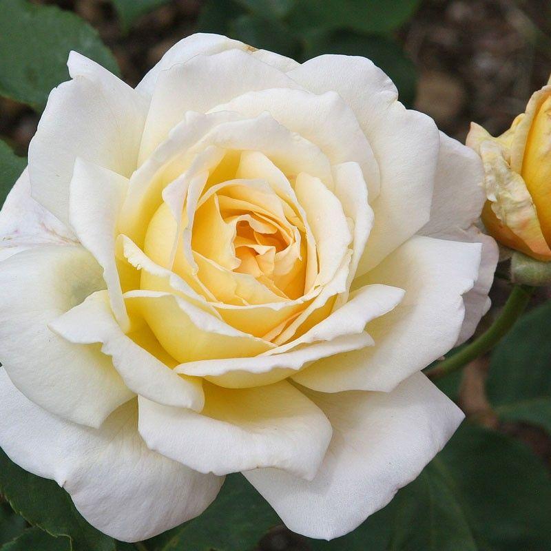 Lemon Spice Hybrid Tea Roses Hybrid Tea Roses