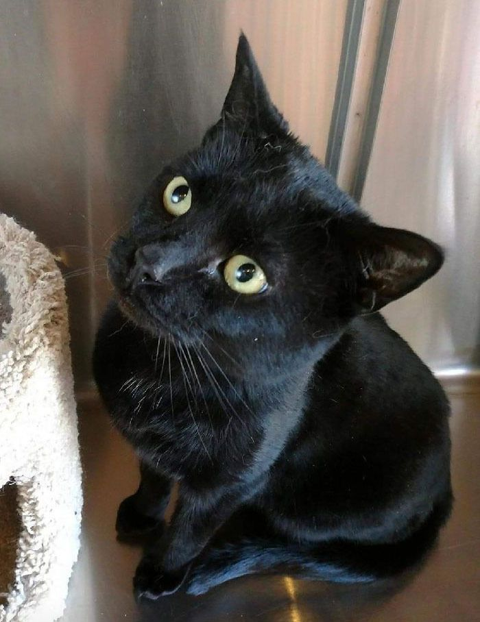 Adopt Gentle Ben on Cat with blue eyes, Cats, Pet adoption