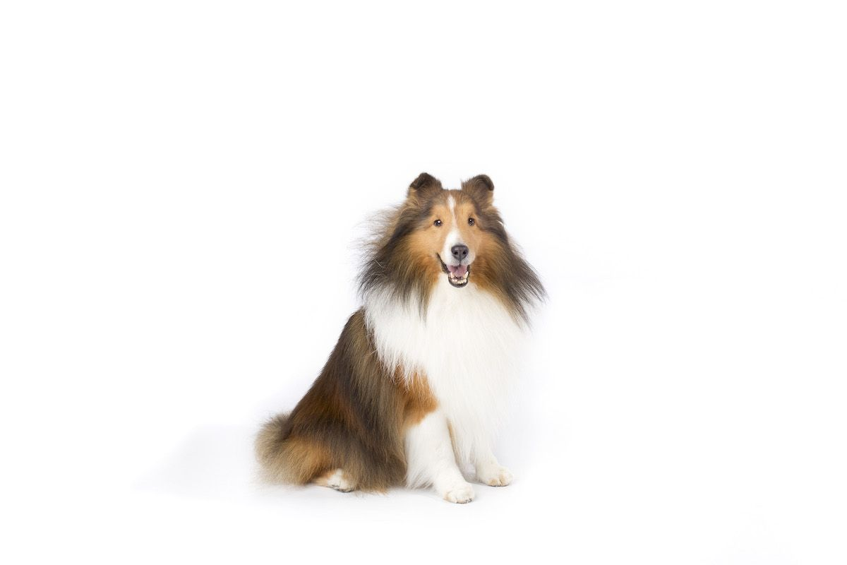 Shetland Sheepdog Dog Breed Information Shetland Sheepdog Dog