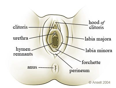 Diagram of the location of the clitoris