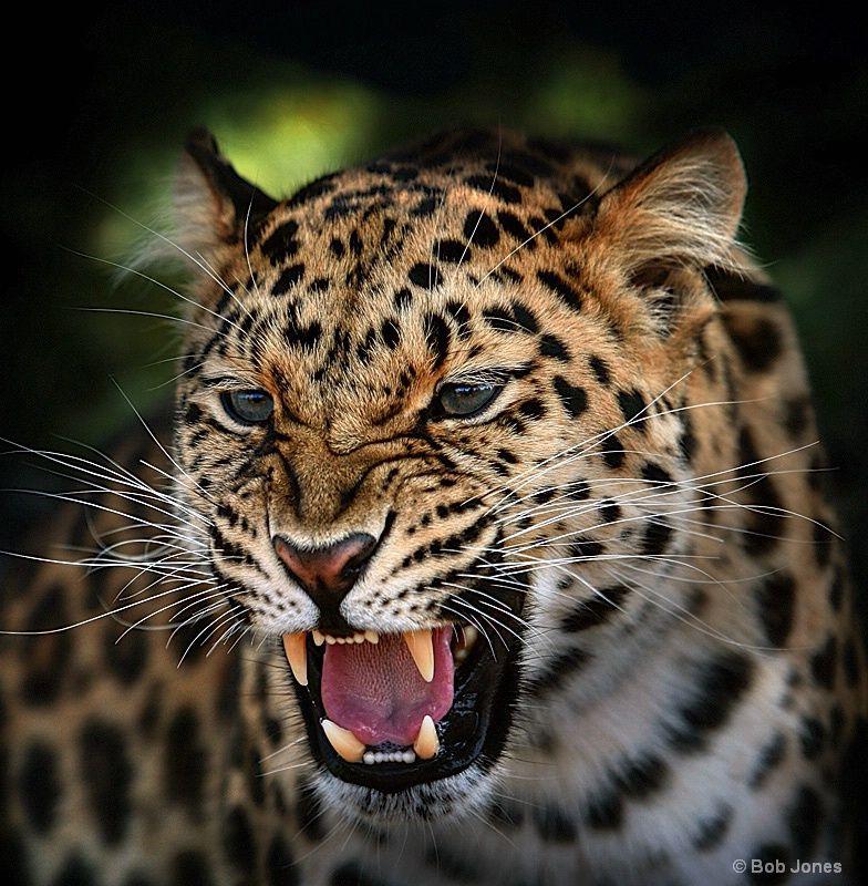 Snarling Jaguar: Young Amur Leopard, By Bob Jones