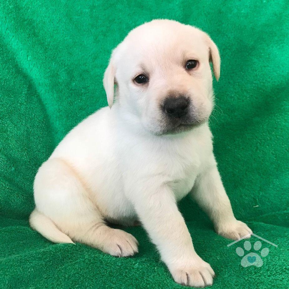 Meet Bo! He is a purbred Male Labrador Retriever who is