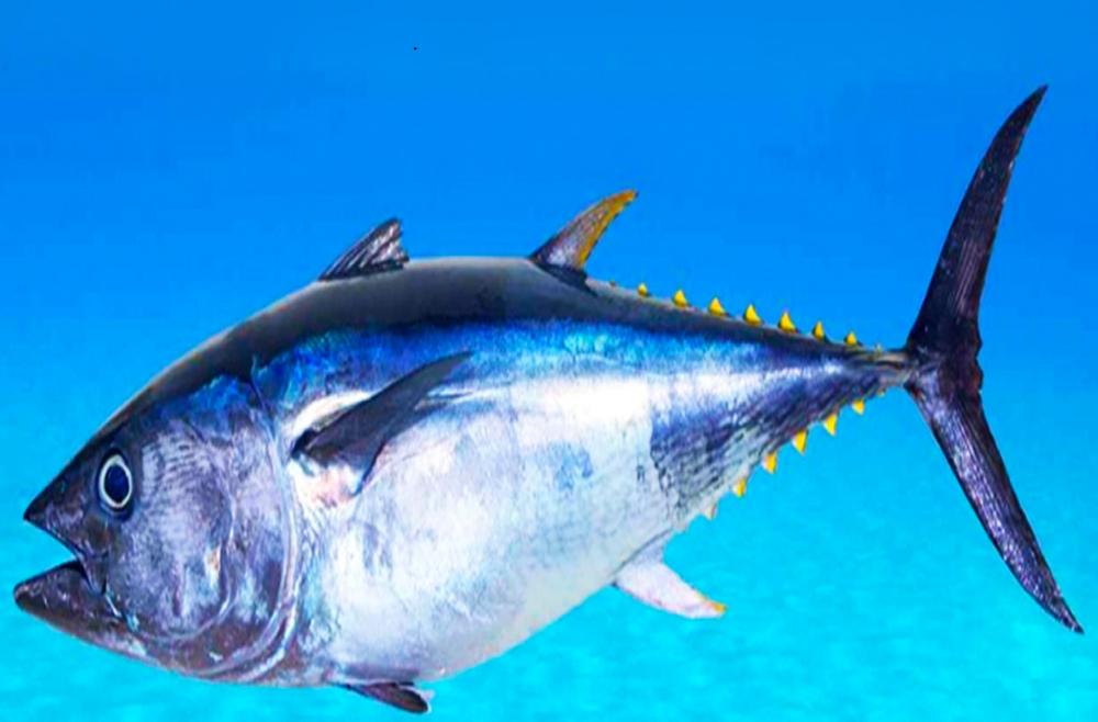 Tuna Fish Tuna Noodle Casserole Tuna Tuna Fishing Make Dog Food