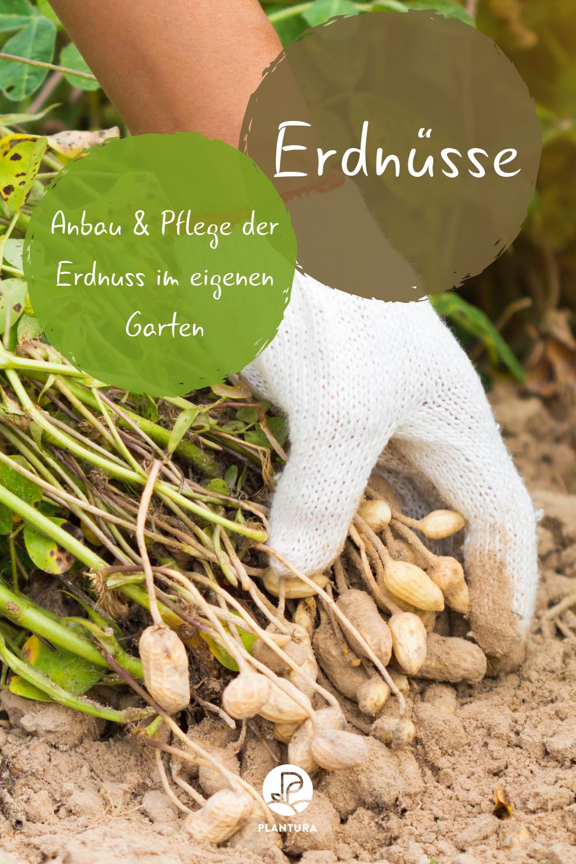 Erdnusse Anbauen Pflegen Ernten Plantura Garten Anpflanzen Gemusegarten Tipps Erdnuss