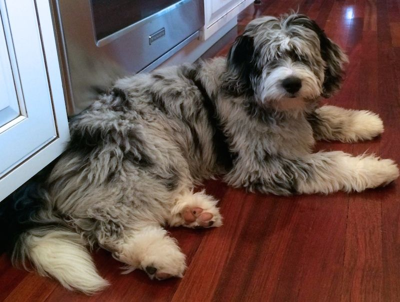 Is An Aussiedoodle Right For Me Aussiedoodle Australian