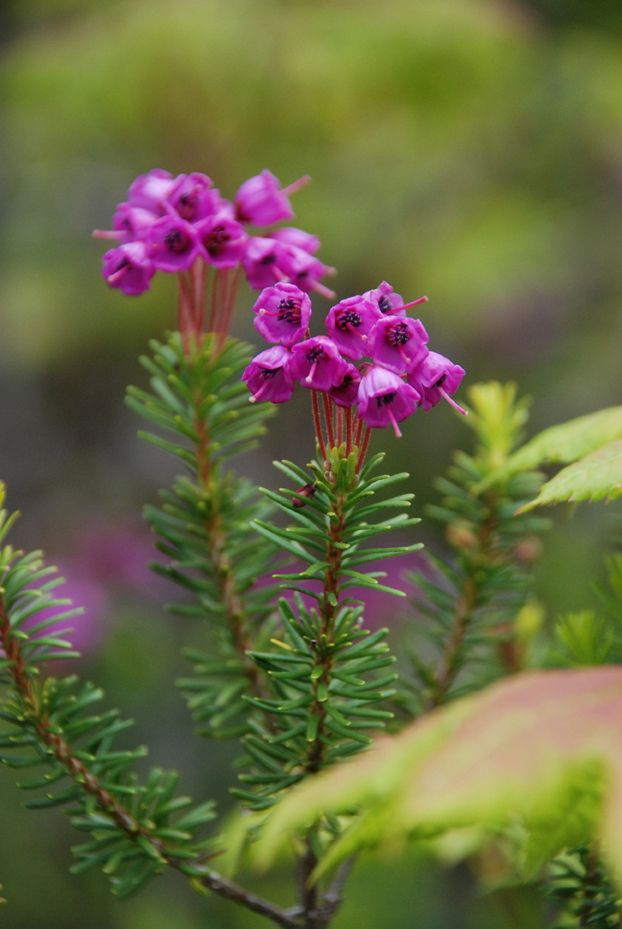 Strong Gt Pink Red Mountain Heather Lt Strong Gt Family Flowers Pink Flowers