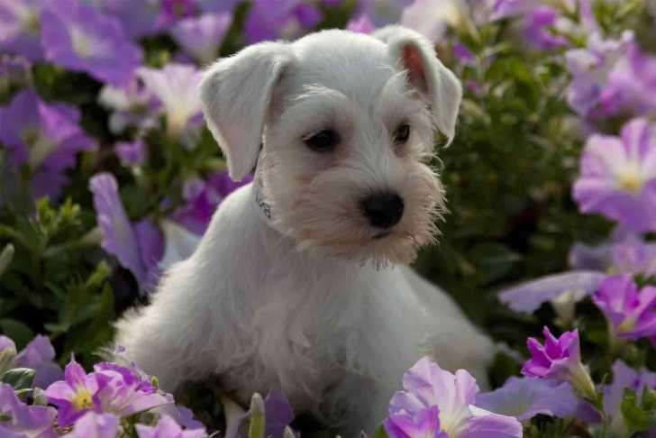 Sweet Baby Schnauzer Great Dogs Mini Schnauzer Puppies Miniature Schnauzer Schnauzer