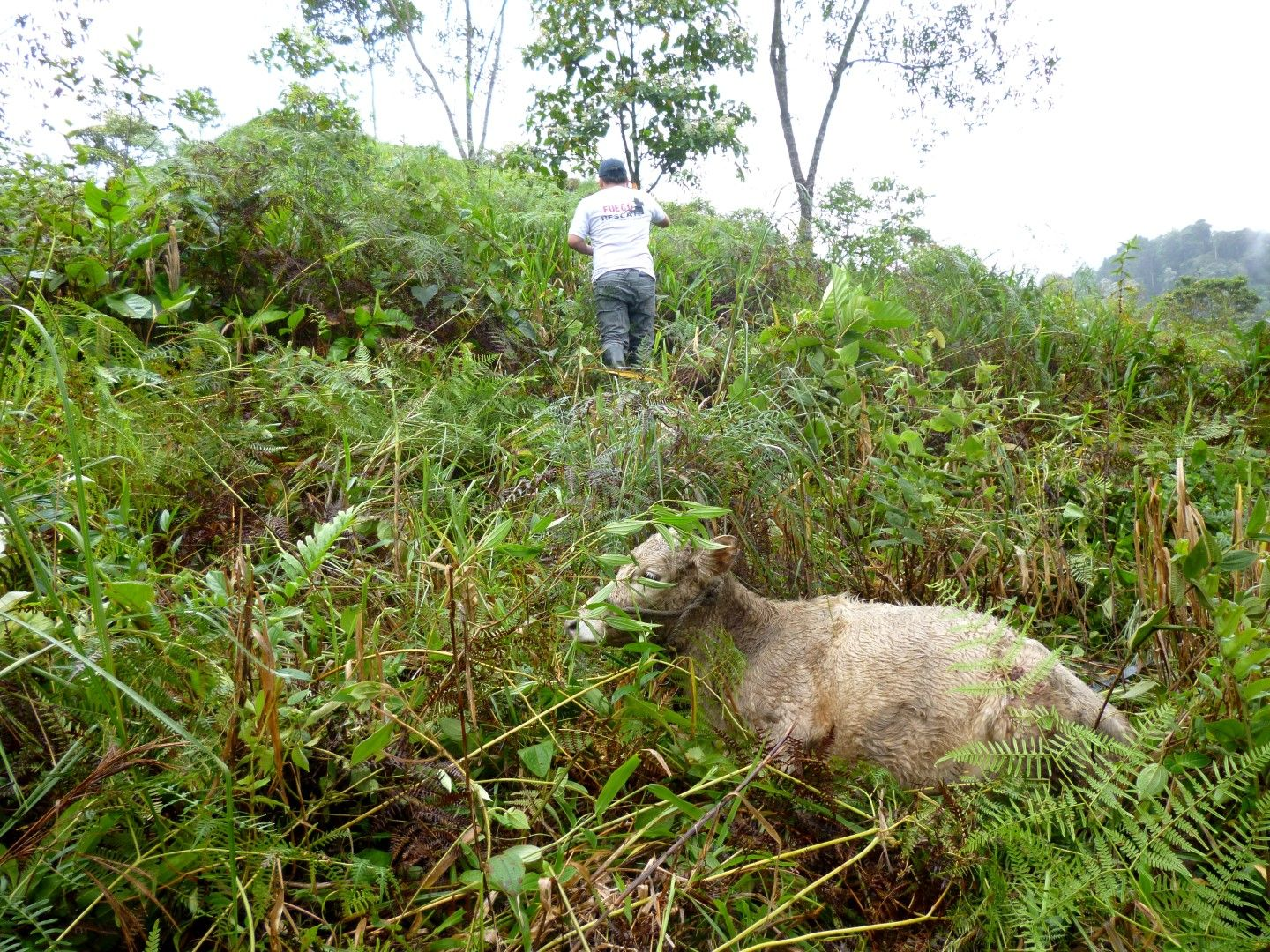 A man and calf walking in the midst of bushes and trees in the Jungle