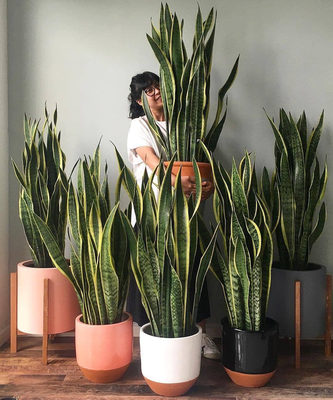 Olivra Homedecor On Instagram Snake Plant Family Tag A Friend