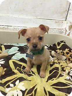 Vacaville Ca Yorkie Yorkshire Terrier Miniature Pinscher Mix