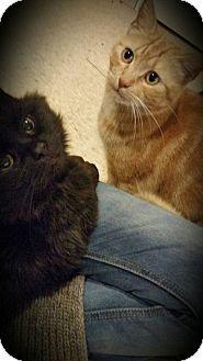 Morrisville, PA - Domestic Shorthair. Meet Bailey, a cat for adoption. http://www.adoptapet.com/pet/14418951-morrisville-pennsylvania-cat