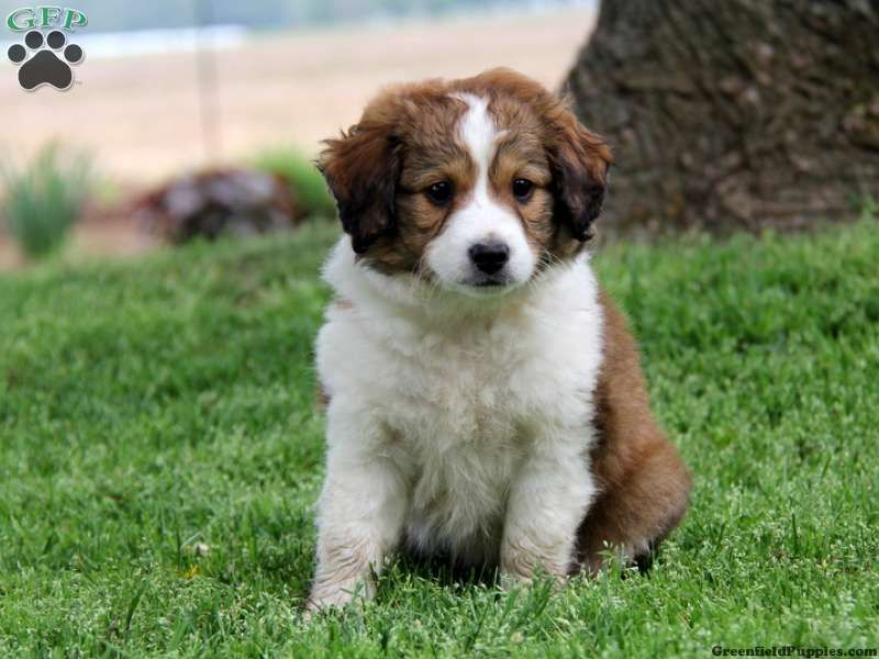 Madison Miniature Collie Mix Puppy For Sale In Pennsylvania Collie Mix Miniature Collie Puppies For Sale