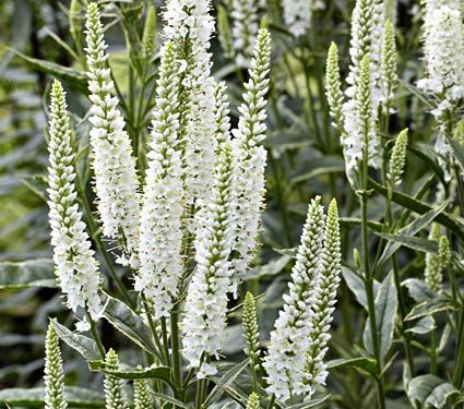 W white veronica google search flowers pinterest white w white veronica google search veronica plant white flowering plants flower gardening mightylinksfo