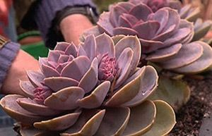 Protecting your plants over winter Echeveria