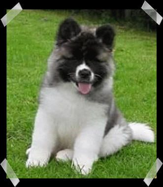 I love long coated Akita puppies | Dogs | Pinterest | Akita, Dog ...
