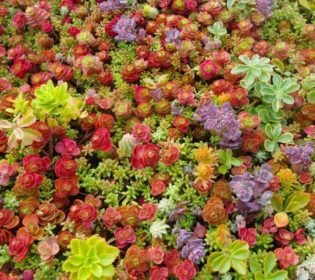 Cottage Farms Colorful Magic Carpet Sedum M48058 QVCcom amy