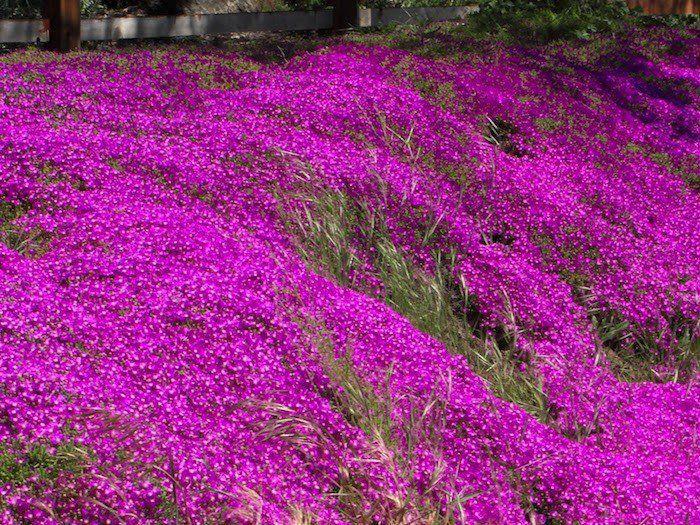 Plante couvre sol un tableau de couleurs naturelles dans votre jardin couvre - Phlox vivace couvre sol ...