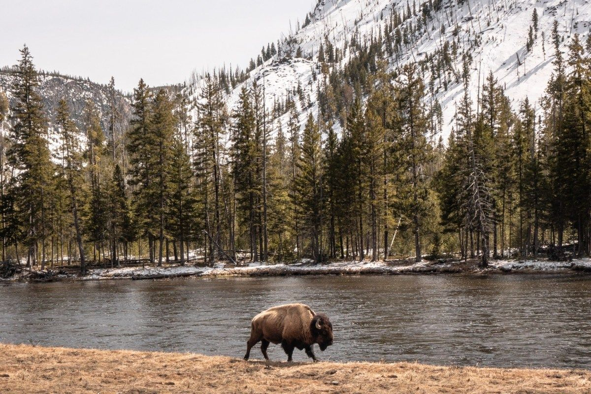 The Best Time To Visit Yellowstone A Tale Of 2 Off Seasons Travelhelix In 2021 Visit Yellowstone Yellowstone Bison