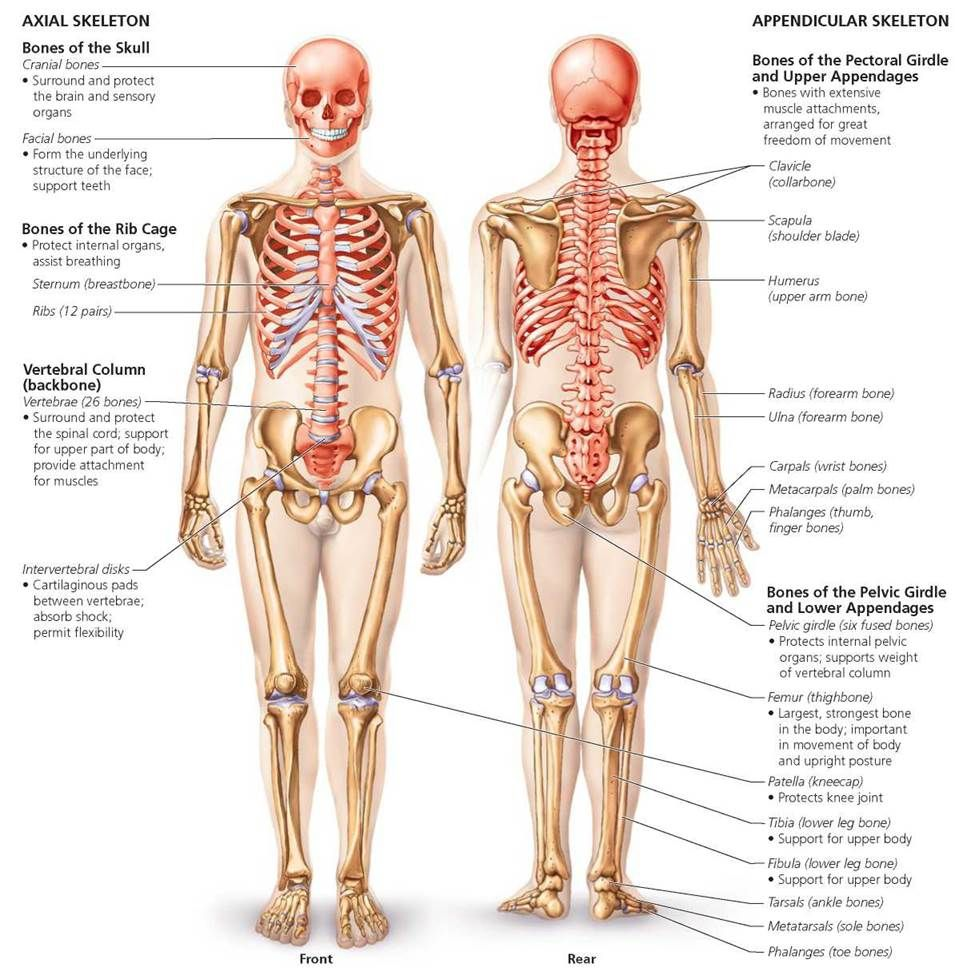 medium resolution of the skeletal system biology of humans human body pinterest rh pinterest com body skeleton with organs body skeleton with organs