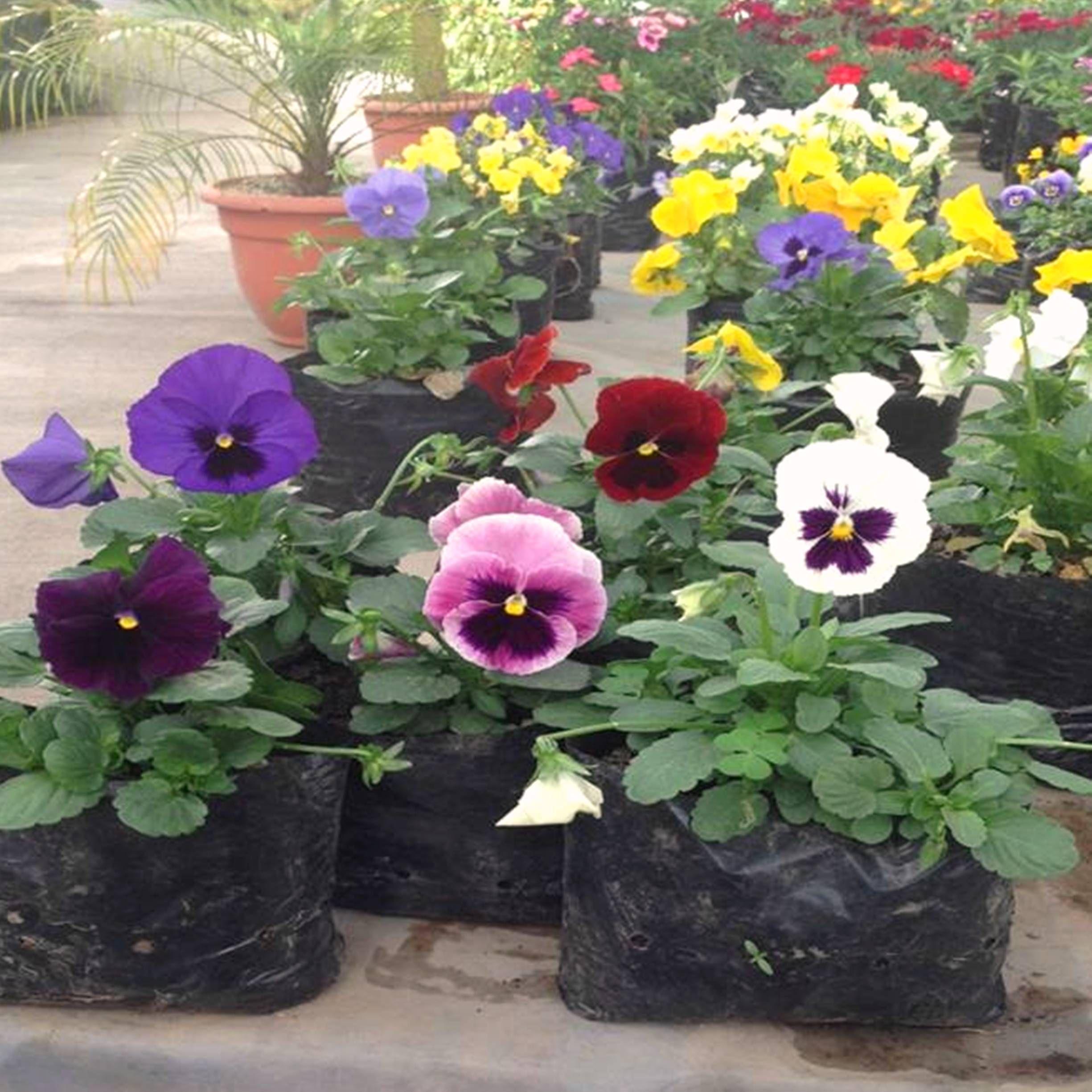 Pensamientos planta ideal para ser la estrella de su - Arriate plantas ...