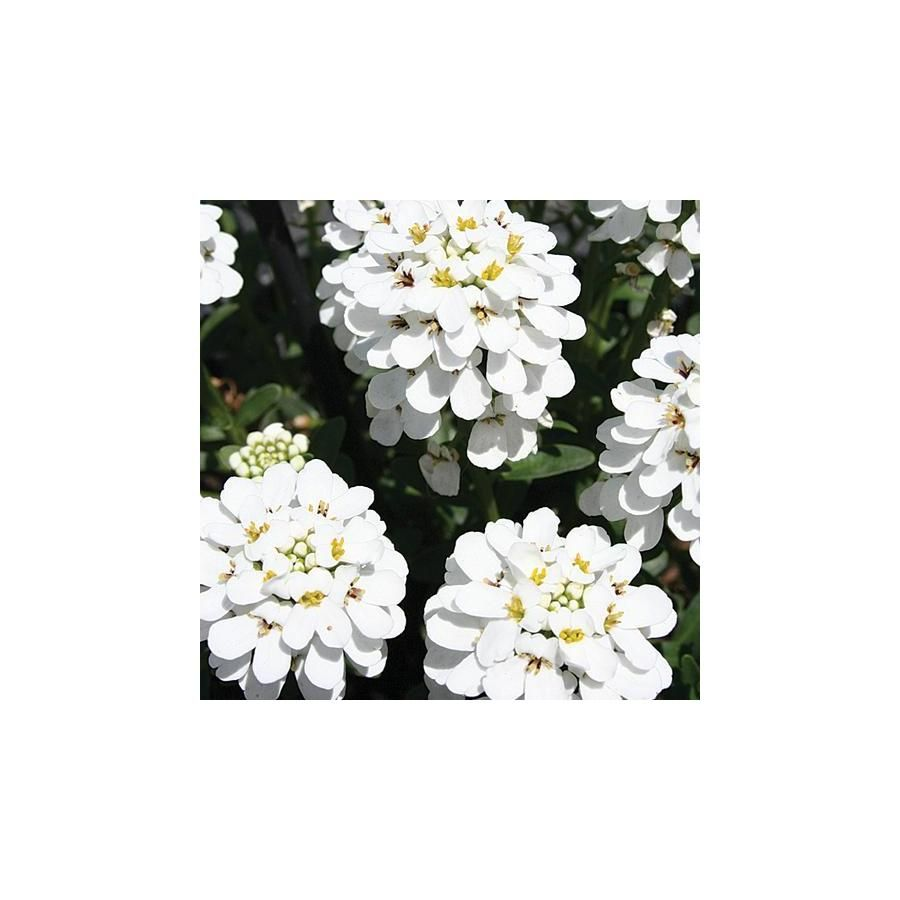 2 Quart In Pot Iberis Lowes Com White Flowers Daisy Flower Flowers