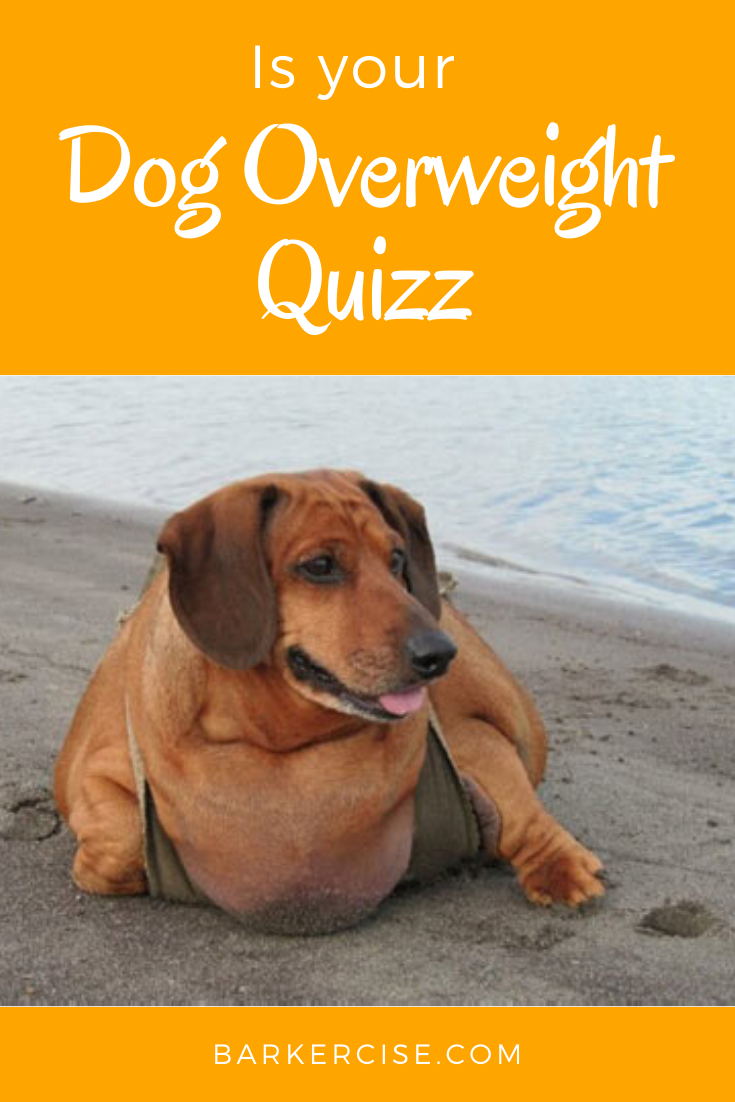 47bd0921f11630297ea932b8fcfe3464 - How To Get My Overweight Dog To Lose Weight