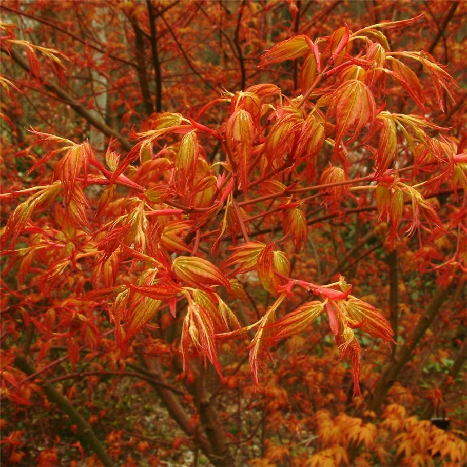 acer palmatum 39 katsura 39 agm small growing dense shrub. Black Bedroom Furniture Sets. Home Design Ideas