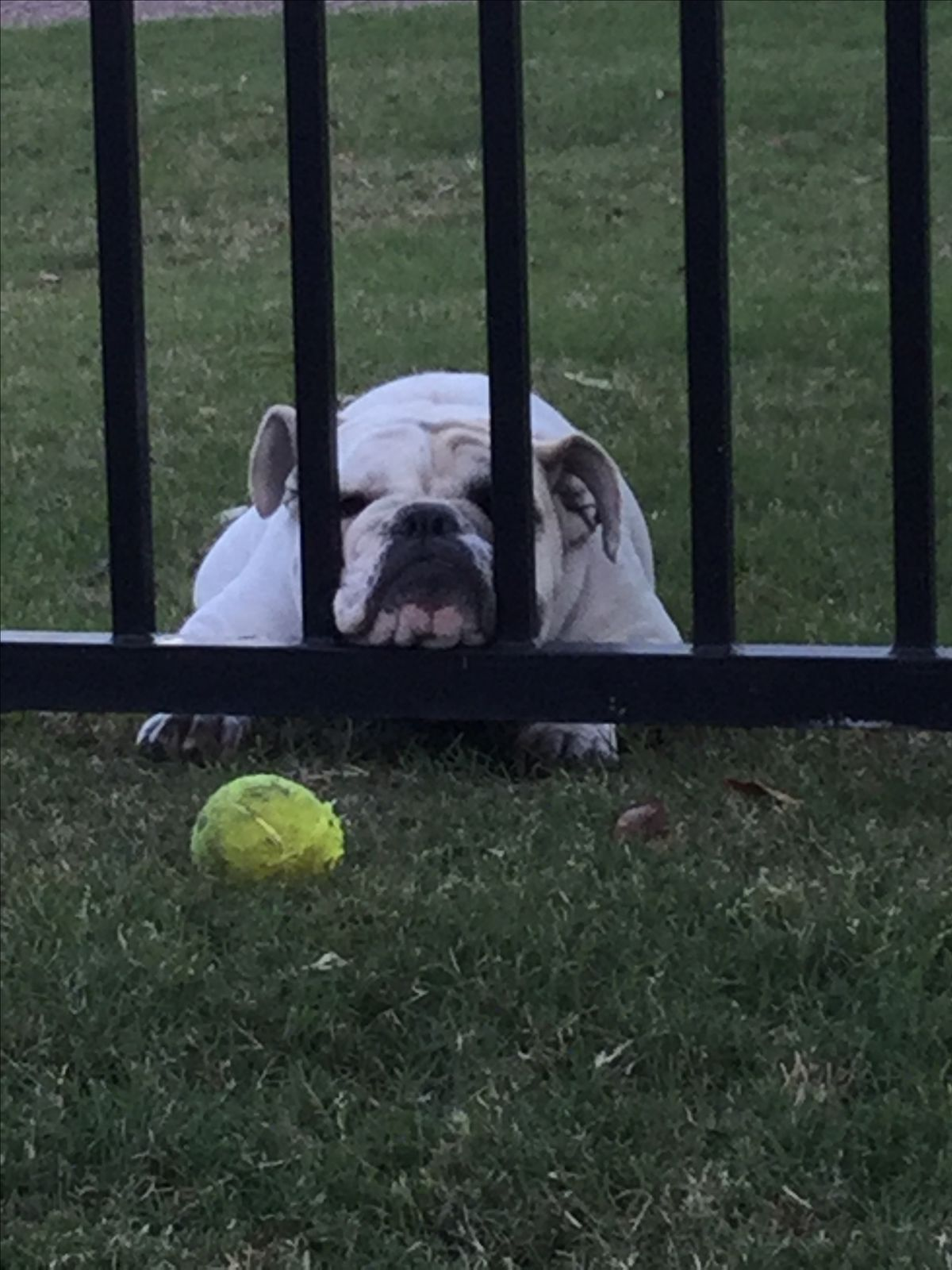 I Need My Ball Bulldog What You Wish Your Bulldog Would Pledge