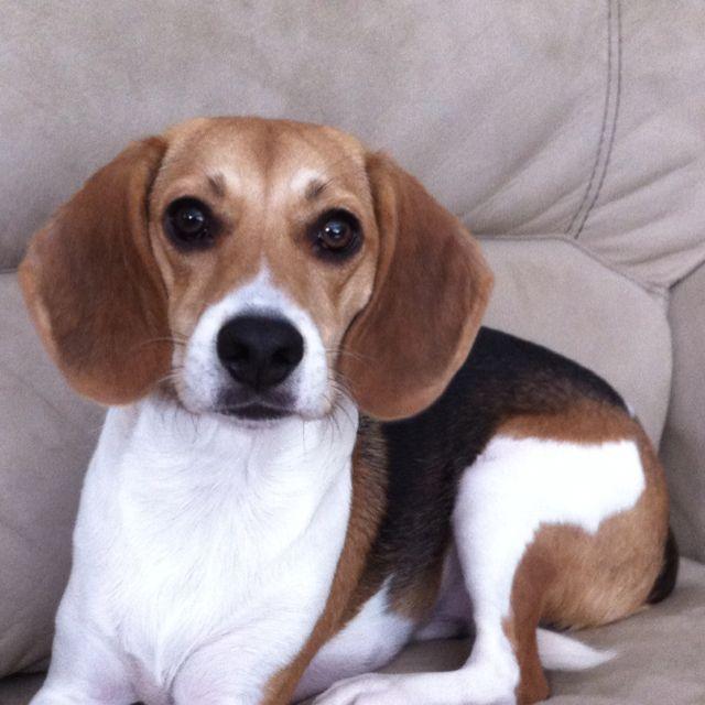 Beagle Dog Breed Information Beagle Dog Breed Beagle Dog Breeds