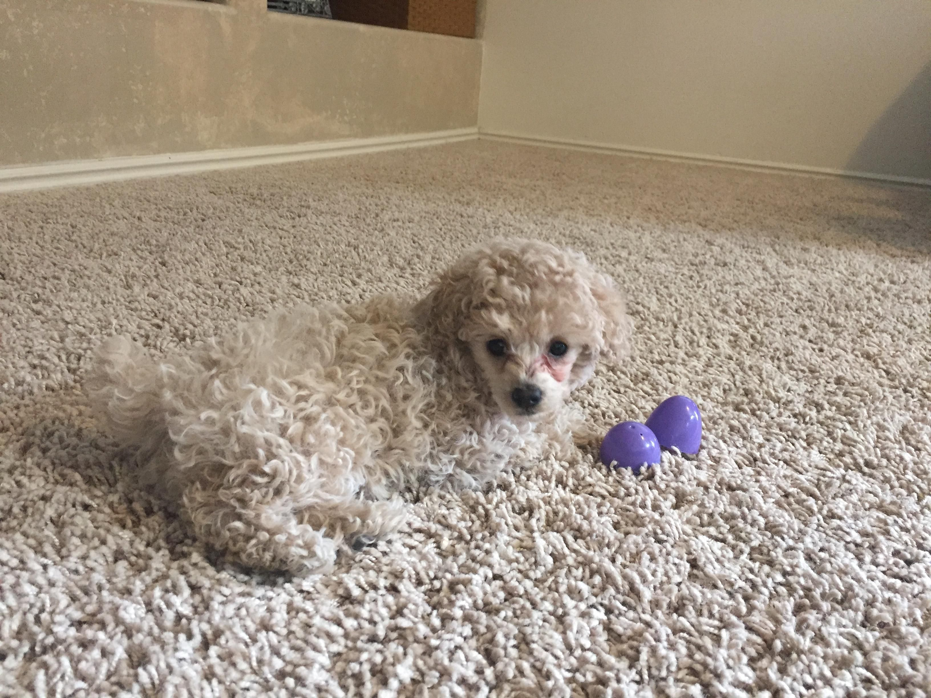 We got a new puppy. She matches the carpet perfectly.