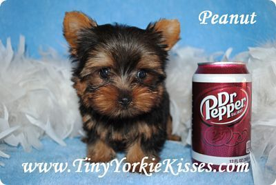 Puppies And Dogs For Sale Yorkie Puppy Yorkshire Terrier For