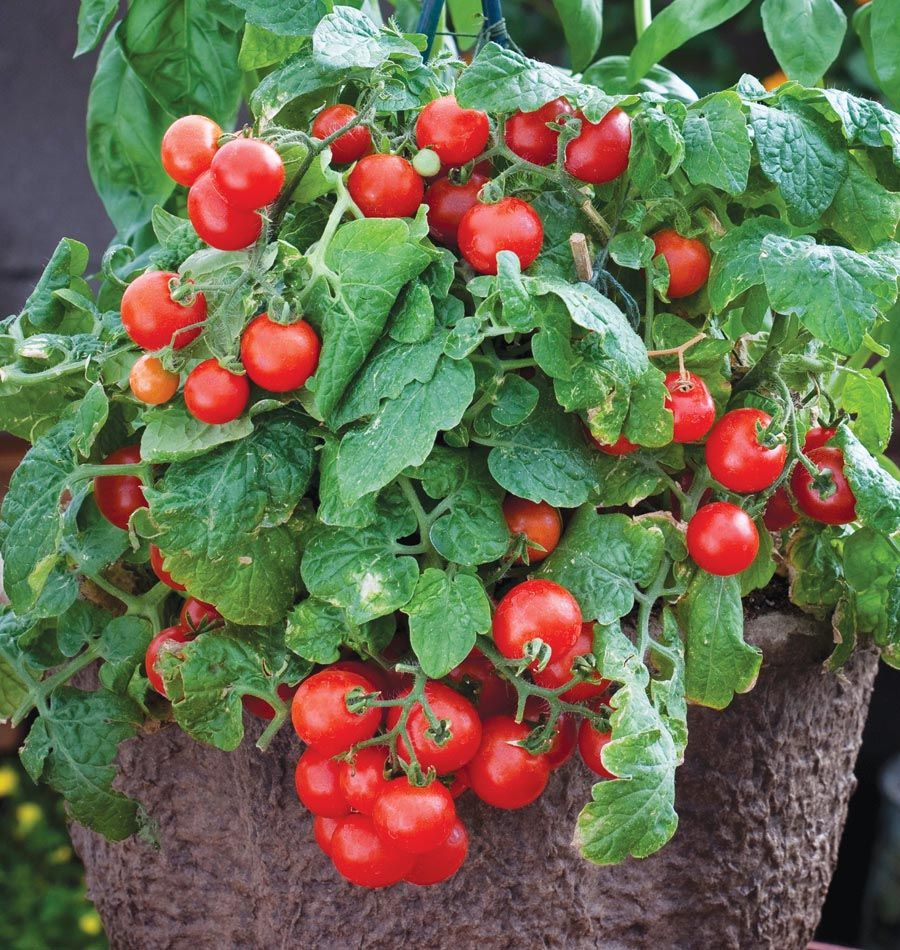 Growing cherry tomatoes in pots - Red Robin