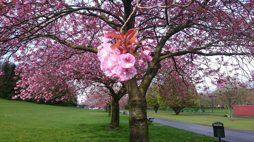 Glasgow Blossom Trees Cherry Blossom Tree Glasgow