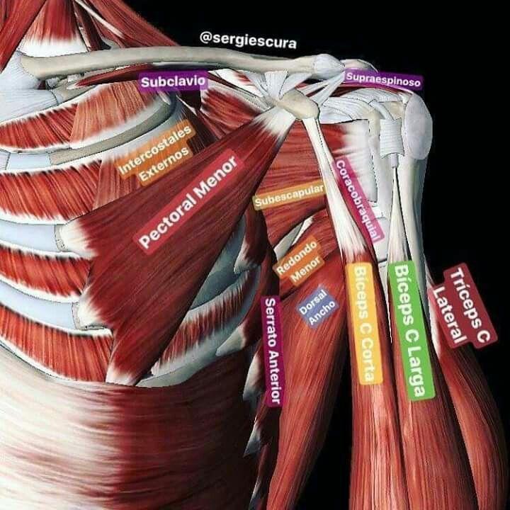 Músculos del tórax anterior y brazo | Anatomia, Fisiología, Biología ...