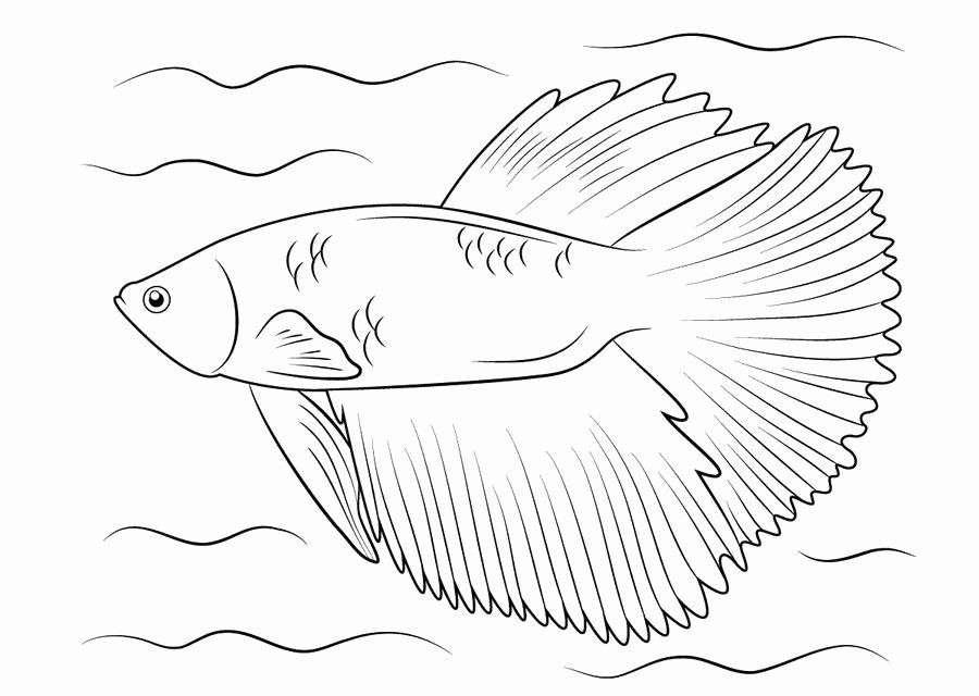 Betta Fish Coloring Page Lovely Male Betta Fish Coloring Coloring