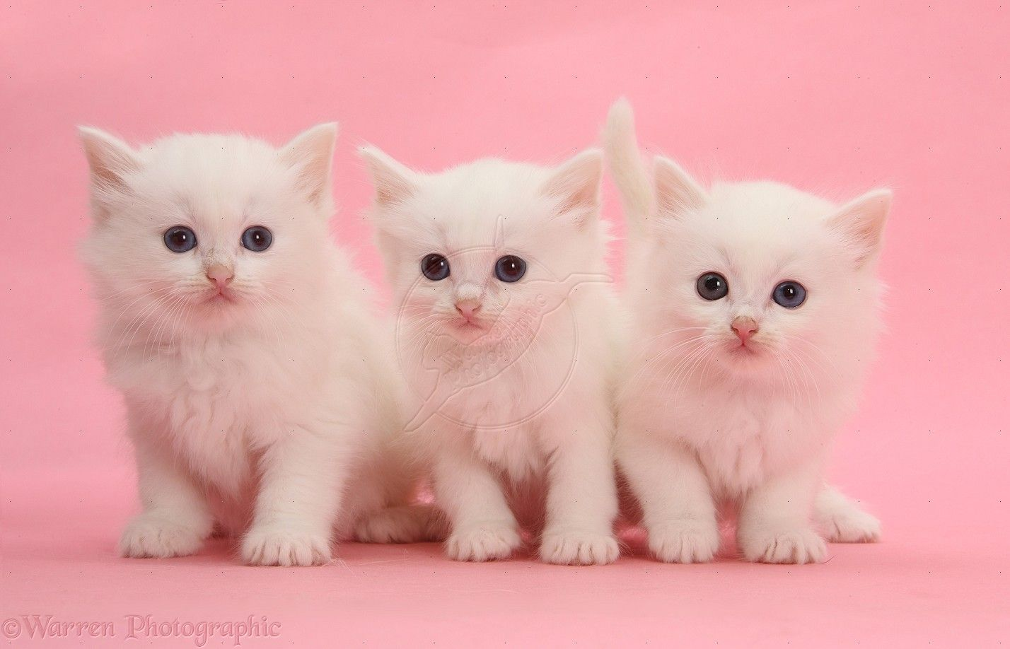 Three White Kittens On Pink Background Photo Kittens And Puppies Fluffy Kittens Kittens