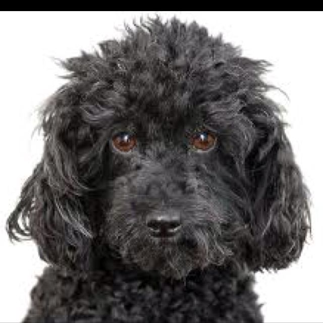 Blank Mini Poodle Looks Just Like My Jacque Toy Poodle