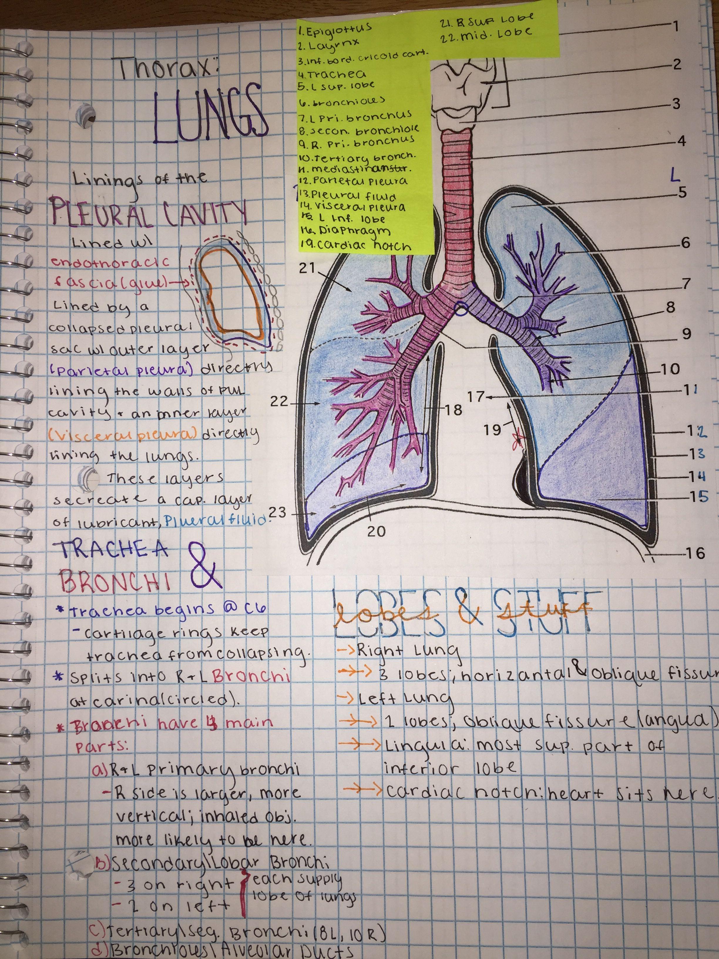 Anatomy Thorax Notes | So Collegiate | Human anatomy