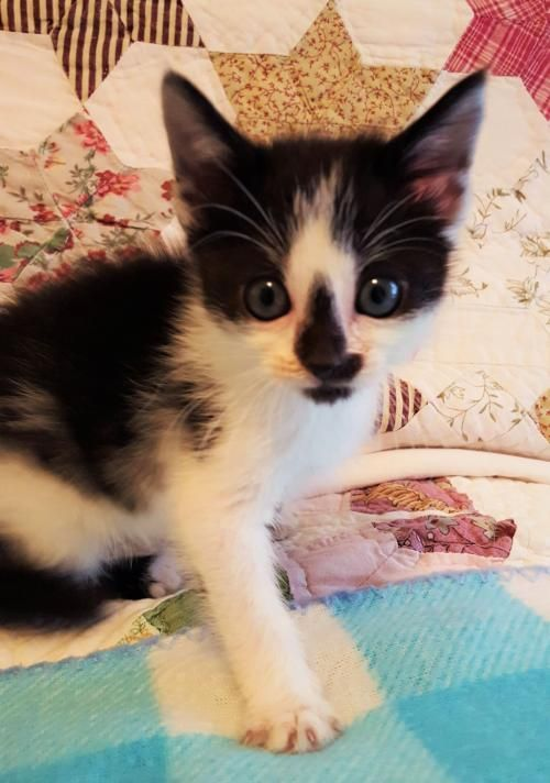 Alma Is An 8 Week Old Female Black And White Kitten She And Her