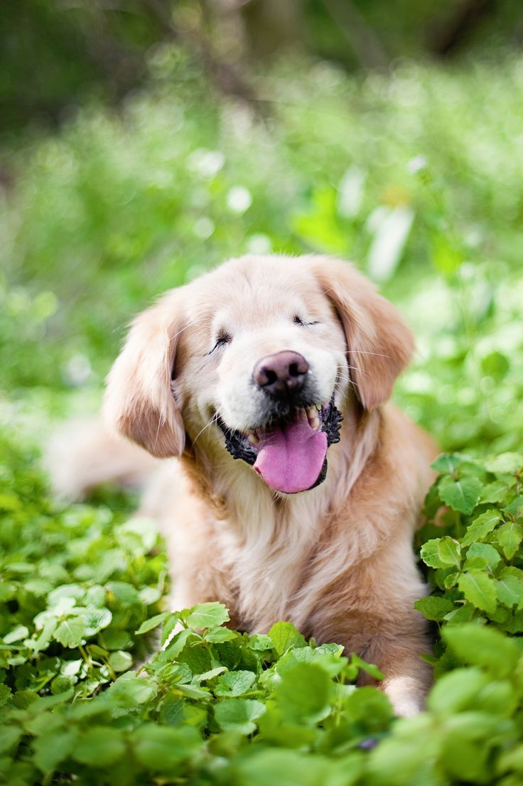 Two Shades Of Golden Retriever Puppies Puppies Retriever Puppy