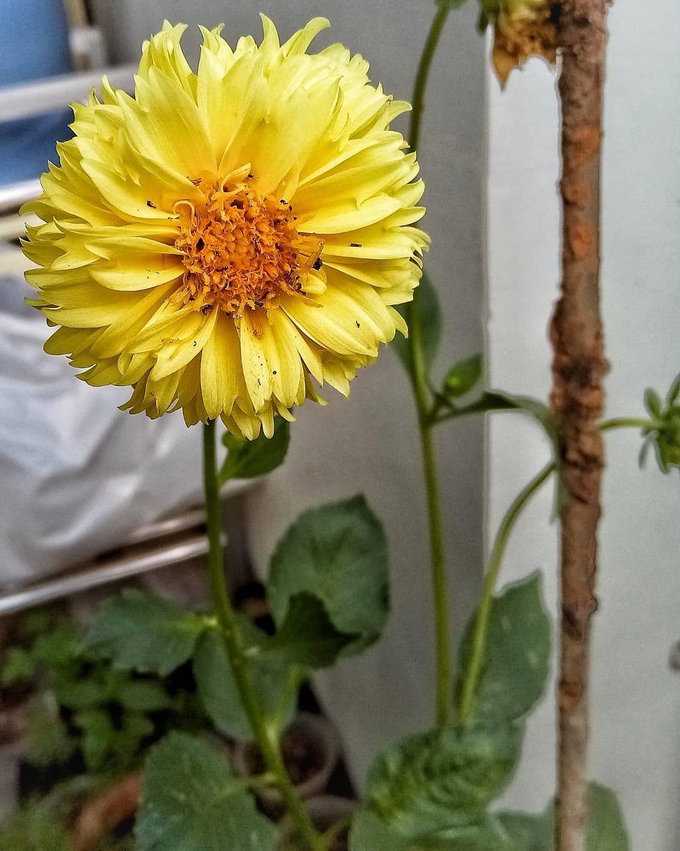 Dahlia Mau Beli Dahlia Lagi Yang Bunganya Lebih Besar Dan Warna Yang Lebih Kalem Moga Bisa Nambah Tempat Buat Mereka Jadi Lebih Dahlia Garden News Flowers