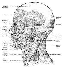 Facial Muscles Human Anatomy Human Anatomy Systems Anatomy