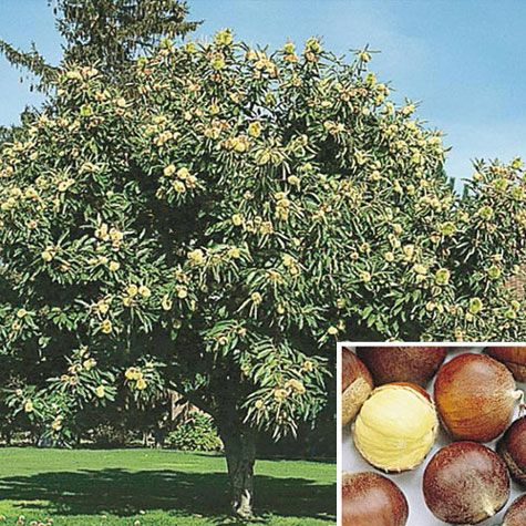 Superior Chinese Chestnut Tree Gurneys 934tree need 2 Nuts