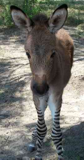 what is a baby male donkey called