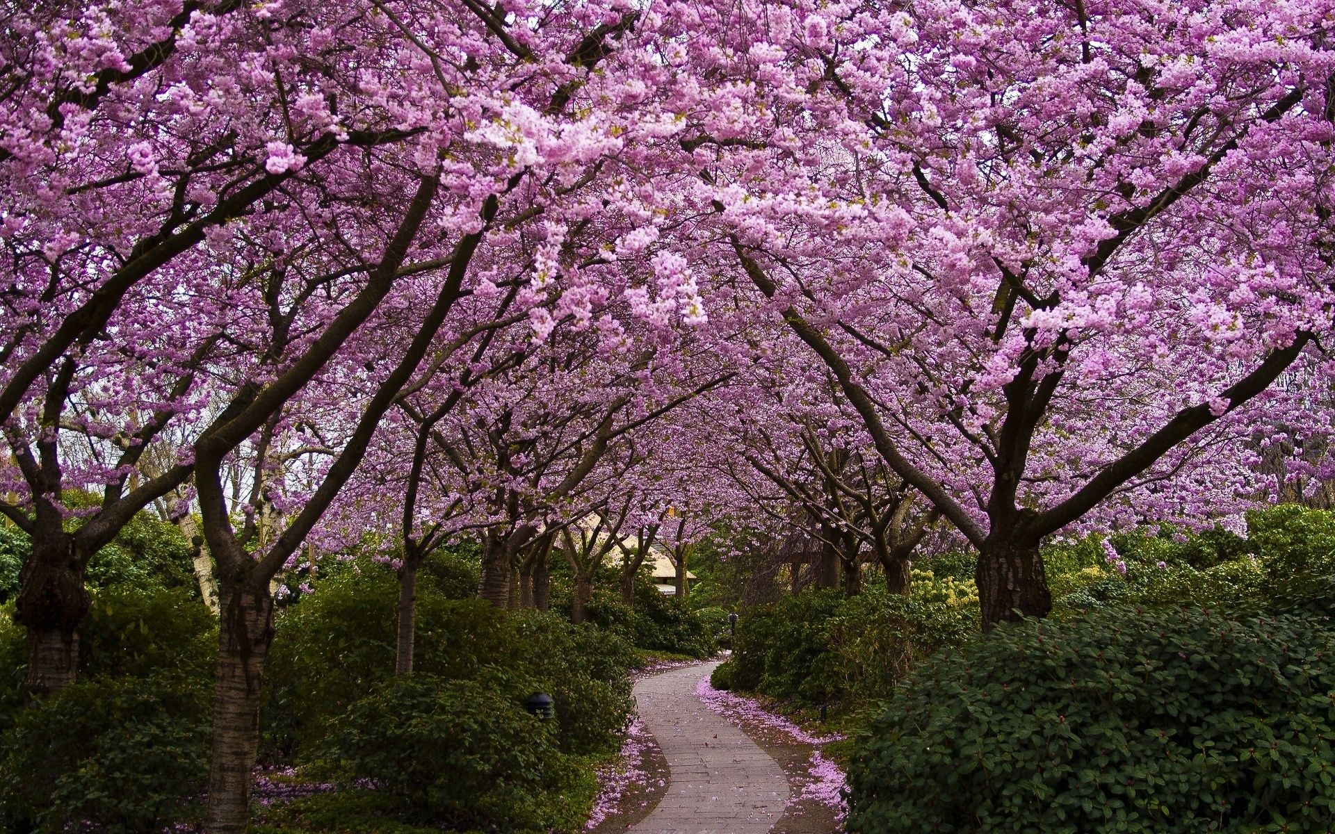 Japanese Cherry Blossom Garden Wallpaper Hd