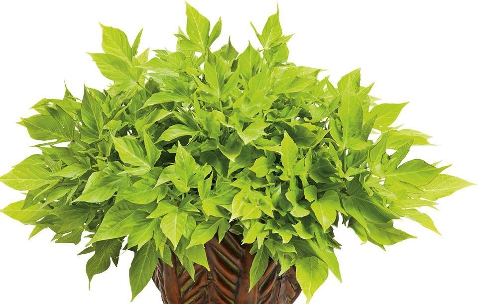 f0b1f6334ffd5b Sweet Caroline Light Green  - Sweet Potato Vine - Ipomoea batatas ...