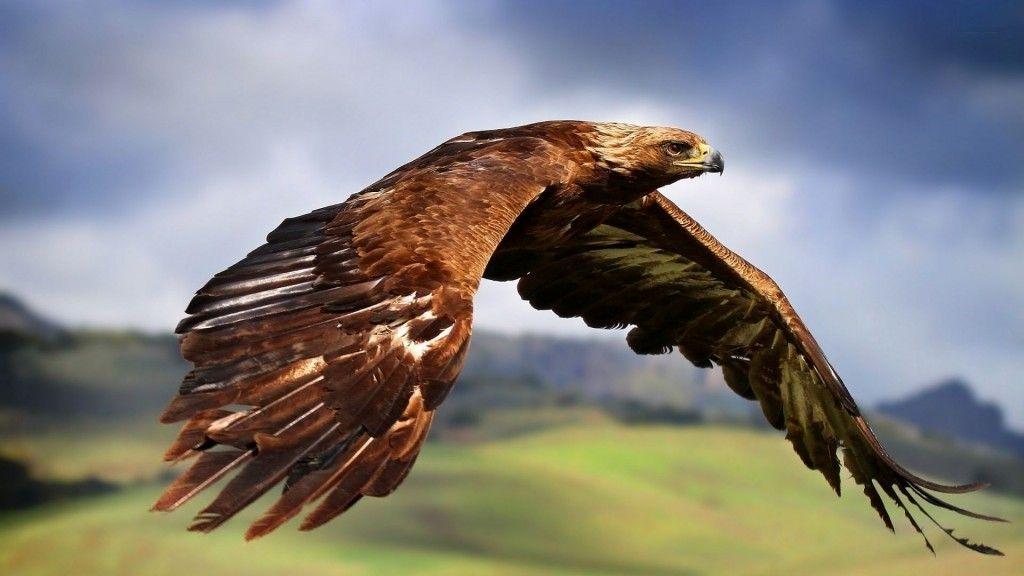 Flying Golden Eagle High Resolution Wallpaper Download Images Free