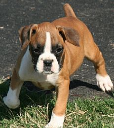 Boxer Puppies Google Search With Images Boxer Puppies Boxer