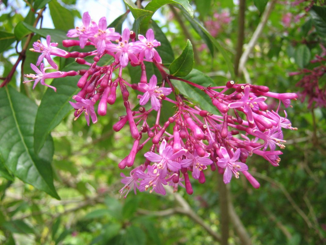 Fuschia Tree Google Search Shrubs Plants Trees Shrubs